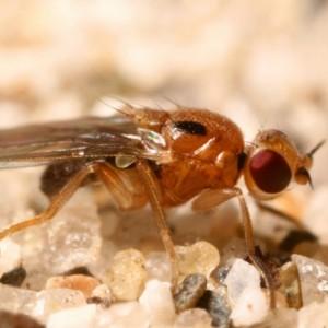 Elachiptera bimaculata