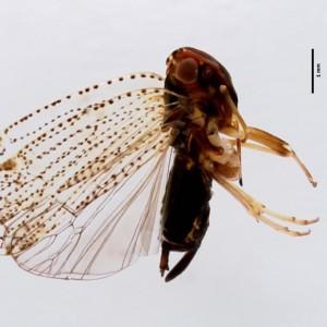 Cixius azoricus azoricus