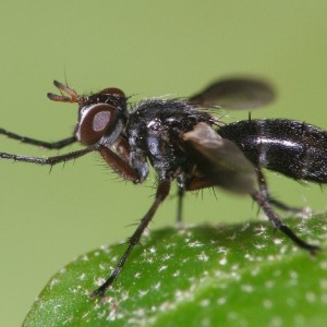 Cylindromyia rufipes