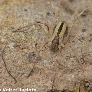 Dicranopalpus pulchellus