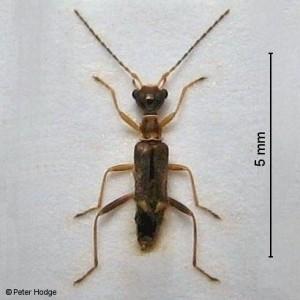 Malthinus ornatus