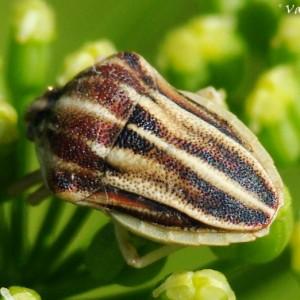http://naturdata.com/images/species/33000/thumbnail_1306791963.jpg