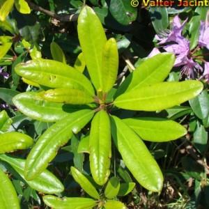 Rhododendron ponticum subsp. baeticum