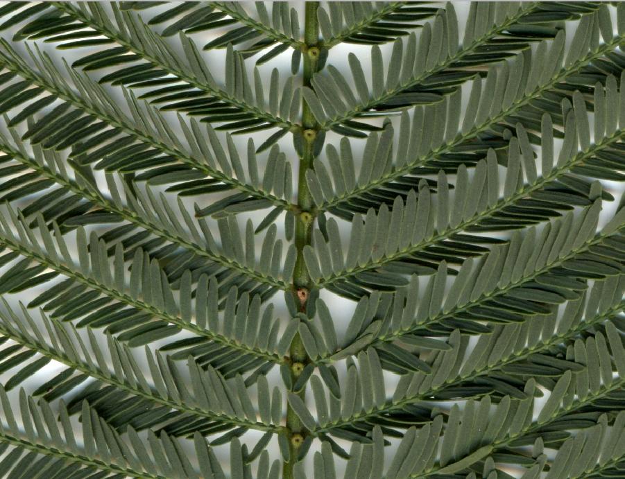 Pormenor das glândulas foliares © Ricardo Ramos da Silva