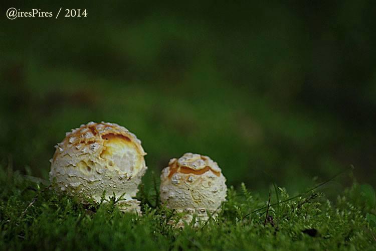 Basidiocarpos emergentes © Aires Pires
