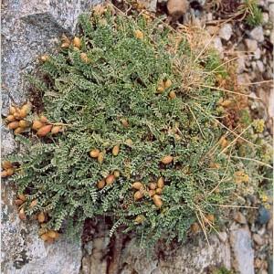 Astragalus incanus subsp. nummularioides