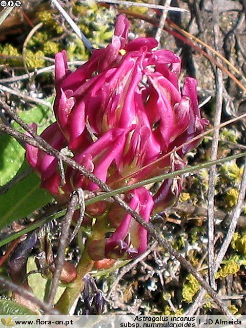 "(<a href=""http://www.flora-on.pt/"" target=""_blank"">Flora-On</a>) © JD Almeida (flora-on)"