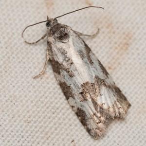 Cnephasia laetana