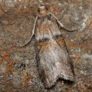 Conobathra tumidana