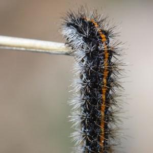 Larva © Eduardo Marabuto