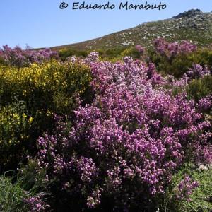 Erica australis ssp. aragonensis com Cytisus oromediterraneus na Serra da Estrela © Eduardo Marabuto