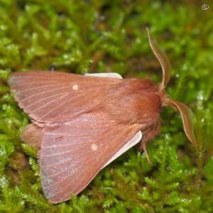 Eriogaster rimicola