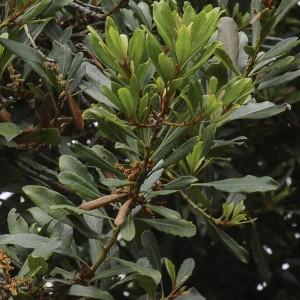 Laurus novocanariensis