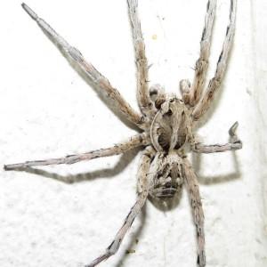 http://naturdata.com/images/species/38000/Lycosa-hispanica-38150-143698308052993-tb.JPG