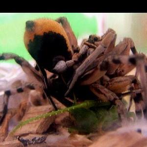 http://naturdata.com/images/species/38000/Lycosa-hispanica-38150-143881007546475-tb.jpg