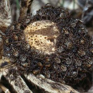 http://naturdata.com/images/species/38000/Lycosa-hispanica-38150-143881064531358-tb.jpg