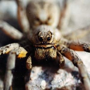 http://naturdata.com/images/species/38000/Lycosa-hispanica-38150-143881100479224-tb.jpg