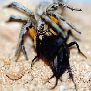 http://naturdata.com/images/species/38000/Lycosa-hispanica-38150-143881100489869-tb.jpg