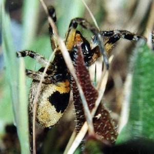http://naturdata.com/images/species/38000/Lycosa-hispanica-38150-143881100566451-tb.jpg