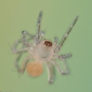http://naturdata.com/images/species/38000/Malthonica-oceanica-38625-137902949093853-tb.jpg