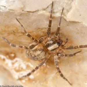 http://naturdata.com/images/species/38000/Malthonica-oceanica-38625-137902975015327-tb.jpg
