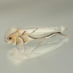 Phyllonorycter harrisella