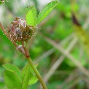 Trifolium cernuum