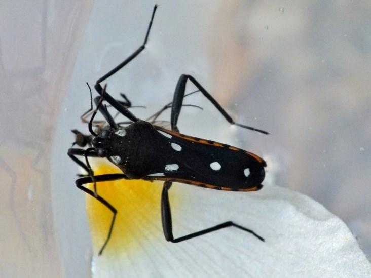 A predar uma Hilara (Empididae) © Ana R. Gonçalves