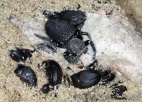 Fêmea na teia com restos de coleópteros © Pedro Cardoso