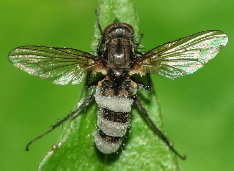 Fungo em frutificação no corpo de uma mosca © Rui Andrade