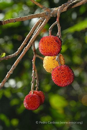 Medronhos (frutos) © Pedro Cardoso
