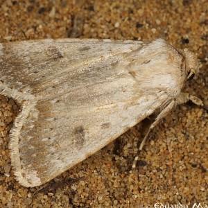 Agrotis alexandriensis