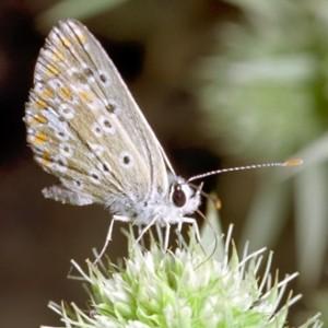 Aricia cramera