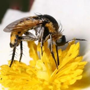Toxophora fasciculata