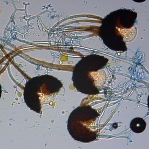 Podosphaera tridactyla