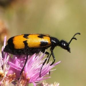 Mylabris maculosopunctata