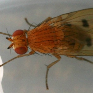 Meiosimyza decempunctata