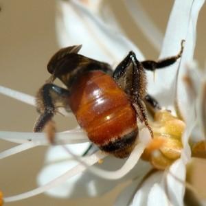 Andrena sardoa