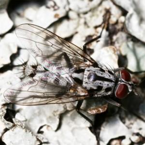 Eustalomyia hilaris