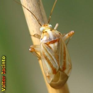 Apolygus rubrostriatus