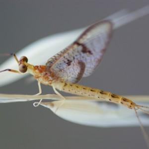 Ephemera glaucops