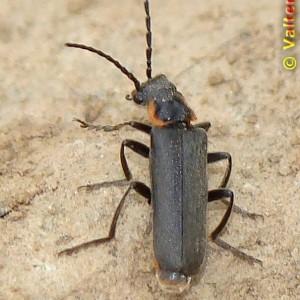 Cantharis pulicaria