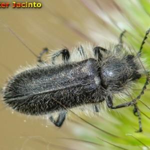 Enicopus scutellaris