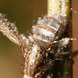 Fungo a frutificar no corpo de uma mosca. © Jorge Almeida