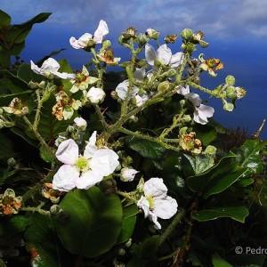Rubus hochstetterorum