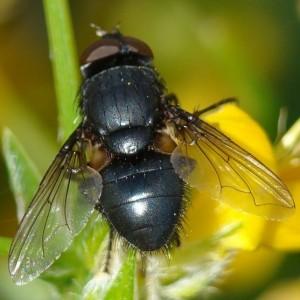 Pollenia leclercqiana