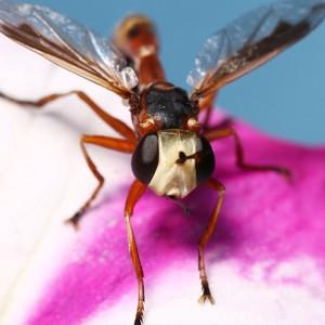 Physocephala vittata