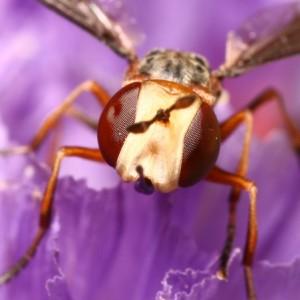 Physocephala lacera