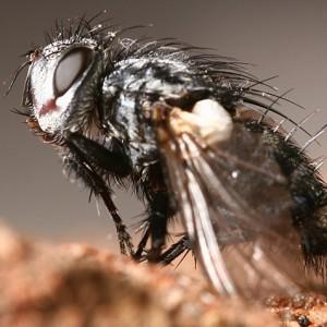 Baumhaueria microps