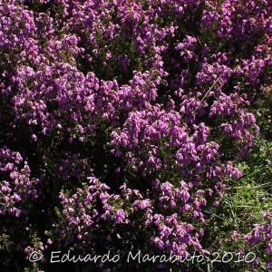 Erica australis ssp. aragonensis © Eduardo Marabuto